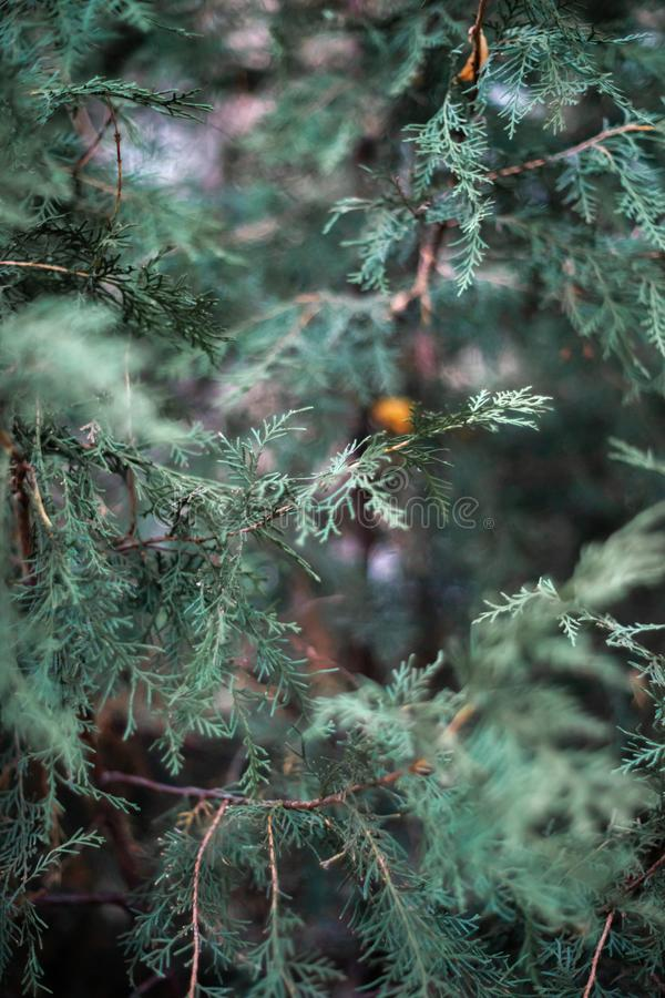 The thuja leaves in close-up view. Late fall, first snow. Good texture and pattern. Dark green colours, low light photo royalty free stock photography