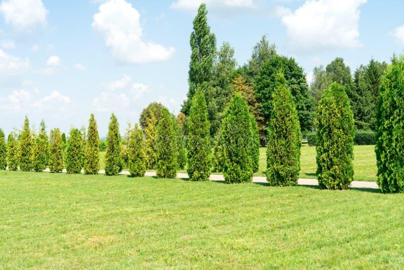 Thuja Los árboles y los arbustos crecen en el parque imagen de archivo