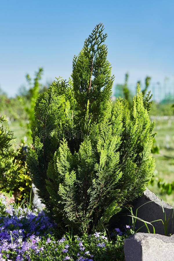 Young thuja Thuja occidentalis L. grows in the park. Thuja occidentalis background.Thuja occidentalis is an evergreen coniferous tree, in the cypress family royalty free stock photo