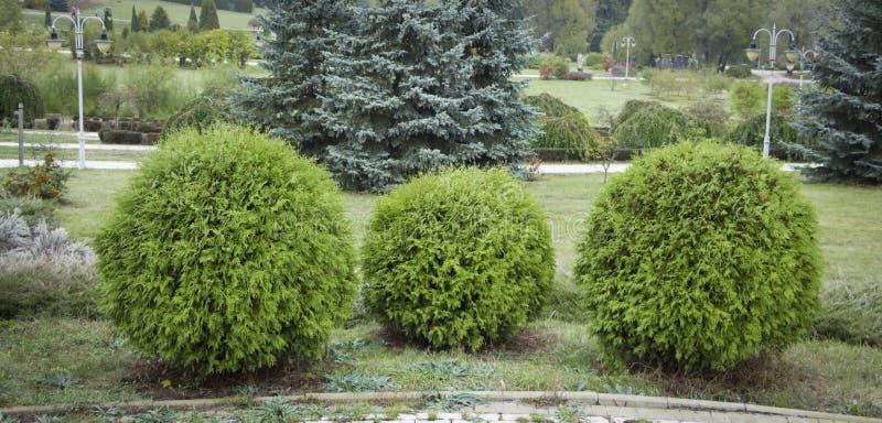 Thuja occidentalis Danica round shape Decorative garden. Thuja occidentalis Danica. Decorative garden shrub with a round shape royalty free stock image
