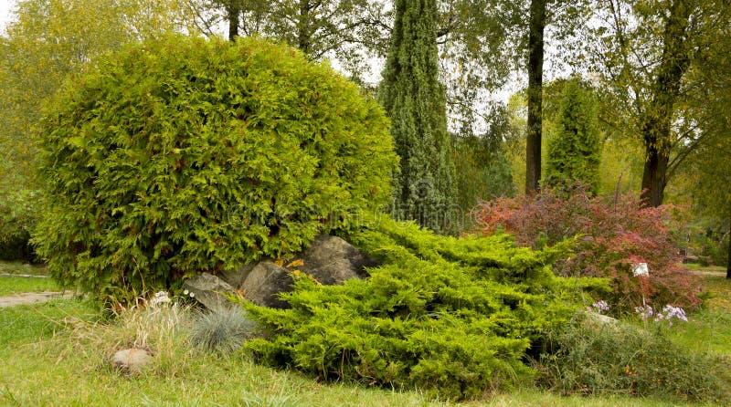 Thuja occidentalis Danica round shape Decorative garden. Thuja occidentalis Danica. Decorative garden shrub with a round shape royalty free stock photo