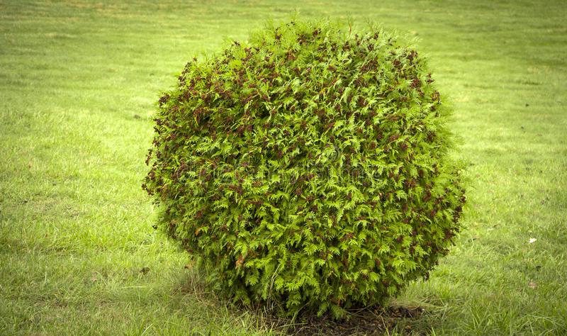 Thuja occidentalis Danica round shape Decorative garden. Thuja occidentalis Danica. Decorative garden shrub with a round shape stock images