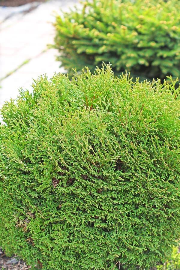 Thuja occidentalis Danica. Thuya spherical (Thuja occidentalis Danica). Garden ornamental shrub royalty free stock photo