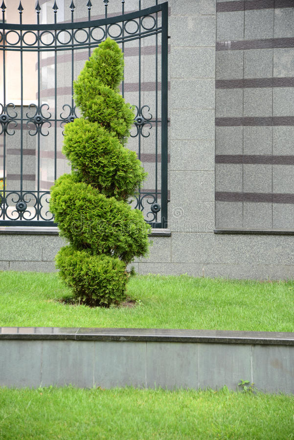 Thuja occidentalis stock images