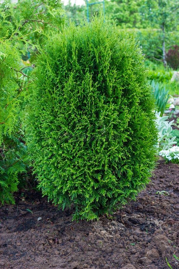 Thuja occidentalis ist ein immergr?ner Koniferenbaum Immergrüne Nadelbäume im Landschaftsentwurf im botanischen Garten lizenzfreie stockfotografie