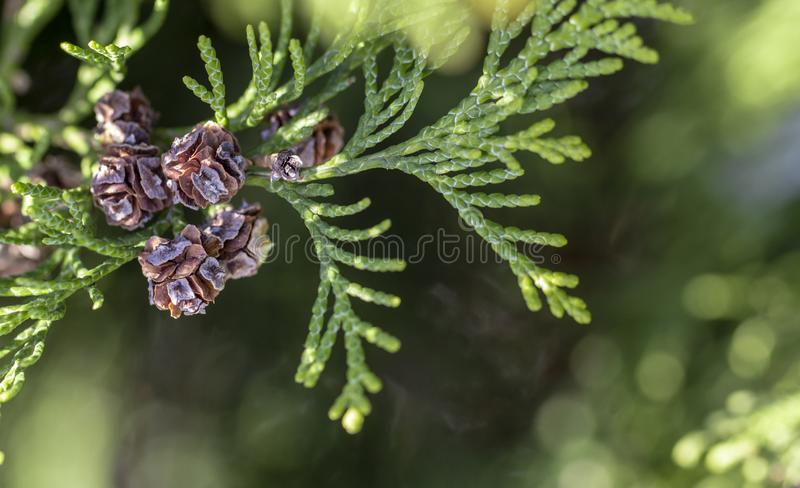 Thuja occidentalis Kegelabschluß herauf grünes backround stockfoto