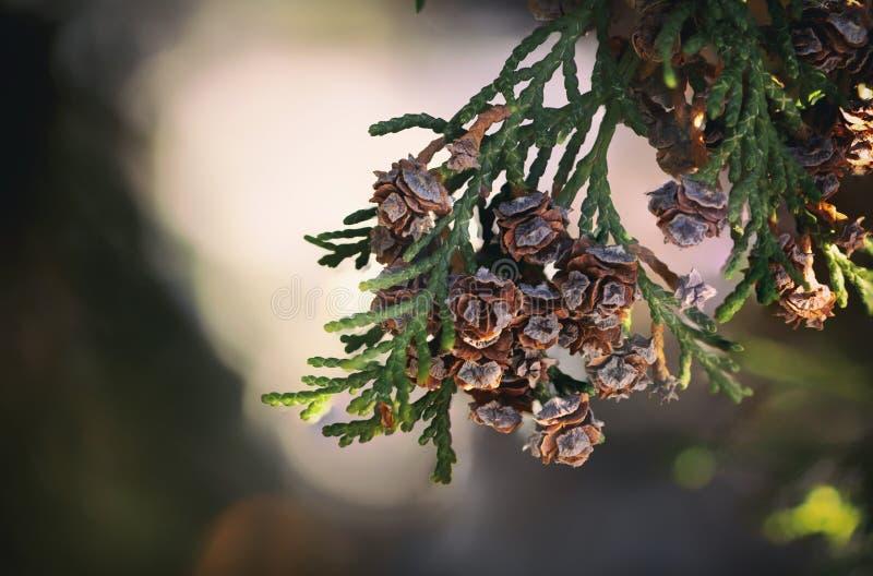 Thuja occidentalis Kegelabschluß herauf grünes backround stockbild