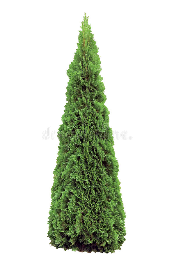 Thuja Occidentalis Smaragd d'Arborvitae d'isolement image libre de droits