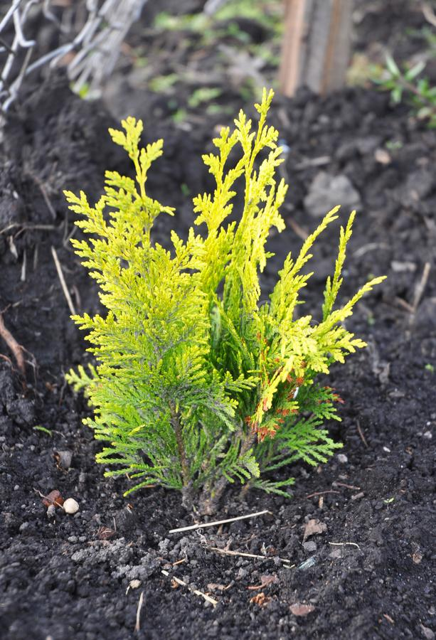 Thuja occidentalis with yellow leaves.Yellow cedar. They are commonly known as arborvitaes, thujas or cedars. Thuja occidentalis with yellow leaves. They are stock photo