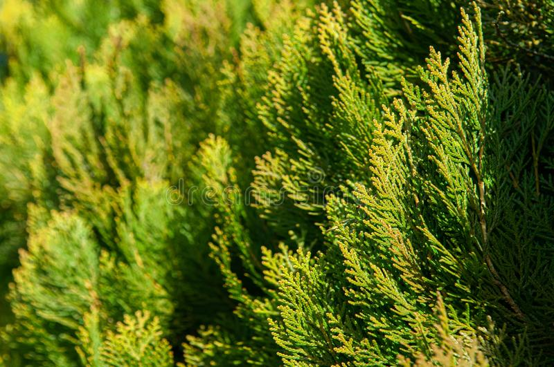 Thuja pine tree leaves hedge close up details background. Thuja pine tree leaves green hedge with beautiful sunlight close up details background stock photography