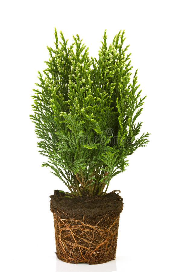 Thuja in a pot. On white background stock photography