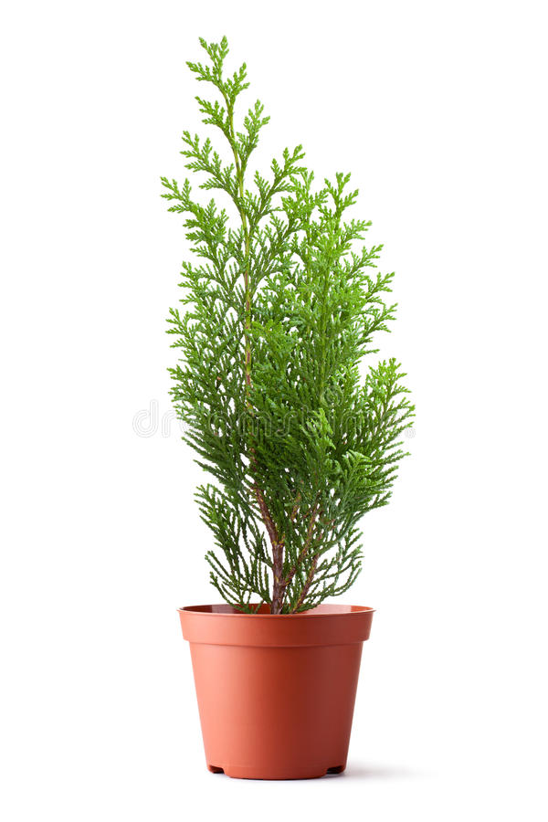 Thuja sapling in a pot royalty free stock photography