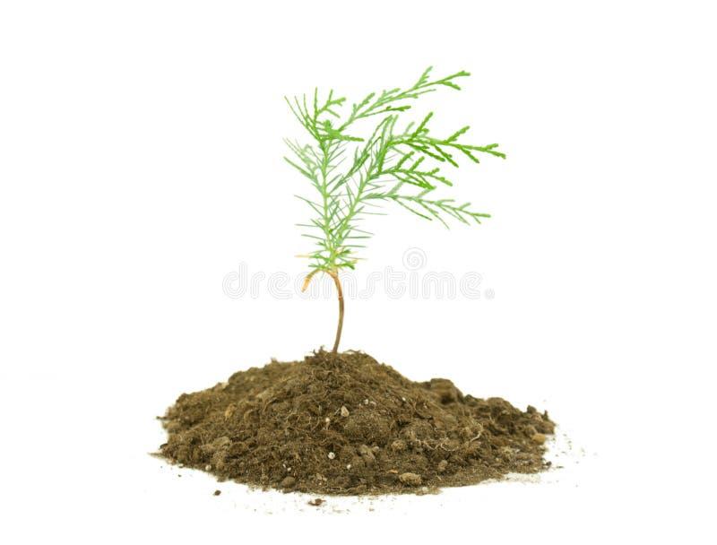 Thuja tree seedling stock photo