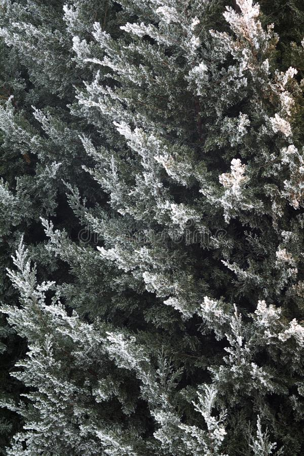 Thuja under sn? royaltyfria bilder