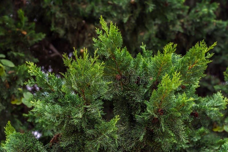 Thuja verde fotografia stock libera da diritti