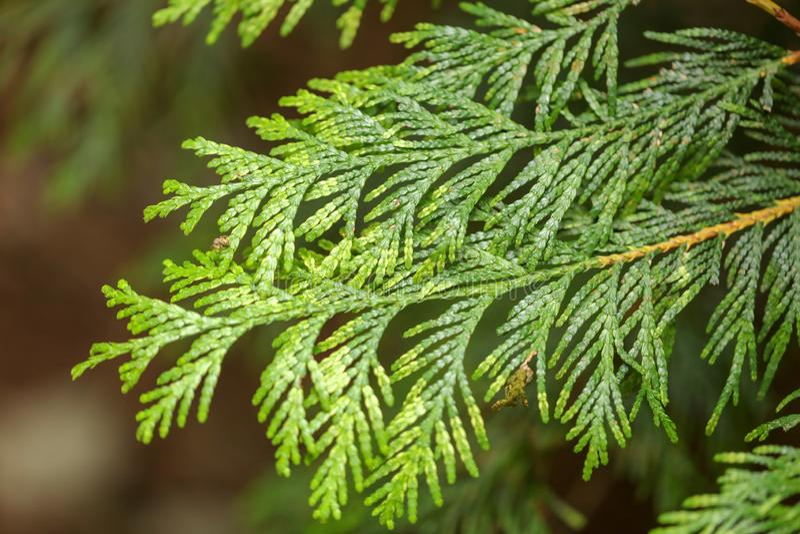 Thuja vert de branche en nature image libre de droits