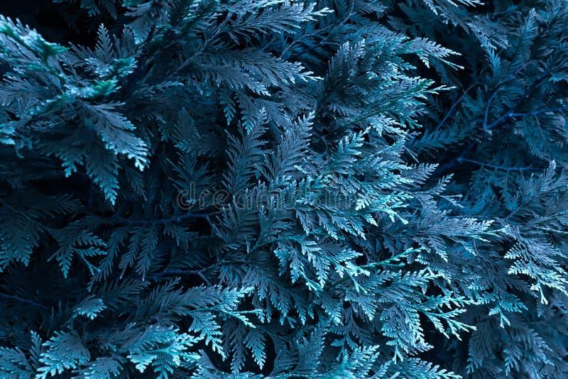 Thuja vertakt zich in een blauwe tint Mooie abstracte achtergrond royalty-vrije stock fotografie