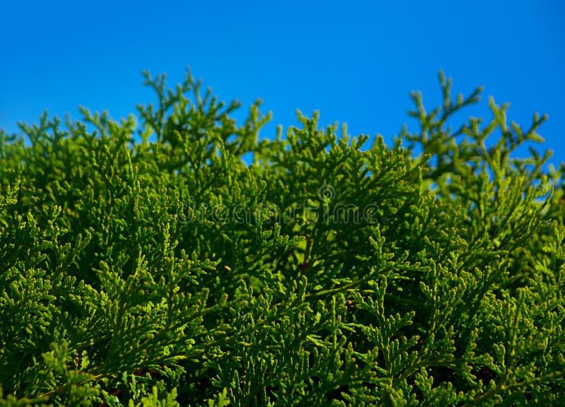 Thujablatt auf blauem Himmel lizenzfreies stockbild