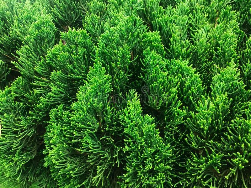 Thujagräsplanfilialer stänger sig upp 30 ändrande för korea för guardsjuli konung söder pal s seoul royaltyfri bild