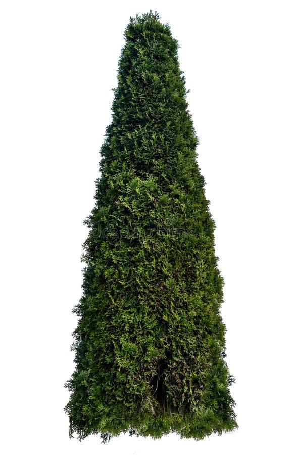 Thujaoccidentalis, die ook als noordelijke wit-ceder of oostelijke arborvitae wordt bekend, is een altijdgroene naaldboom, in de  stock fotografie