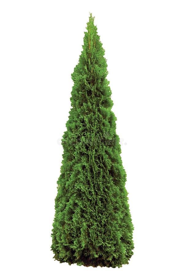Thujaoccidentalis 'Smaragd', grön västerlänning Smaragd Wintergreen, stort detaljerat isolerat pyramidalt cederträ för amerikansk royaltyfri foto