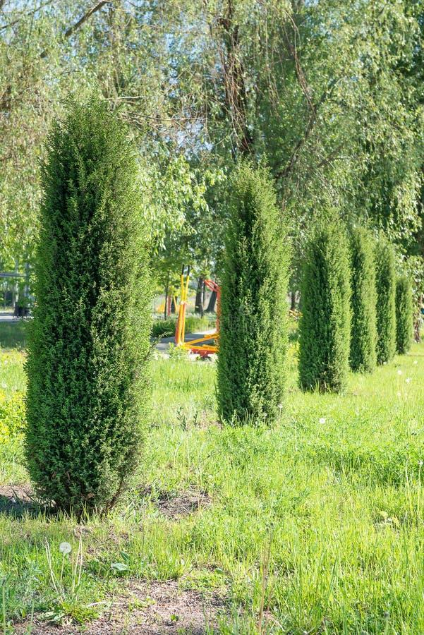 Thujas Вечнозеленый arborvitae растет в номере в парке весной сады hamilton Новая Зеландия сада конструкции стоковые изображения rf