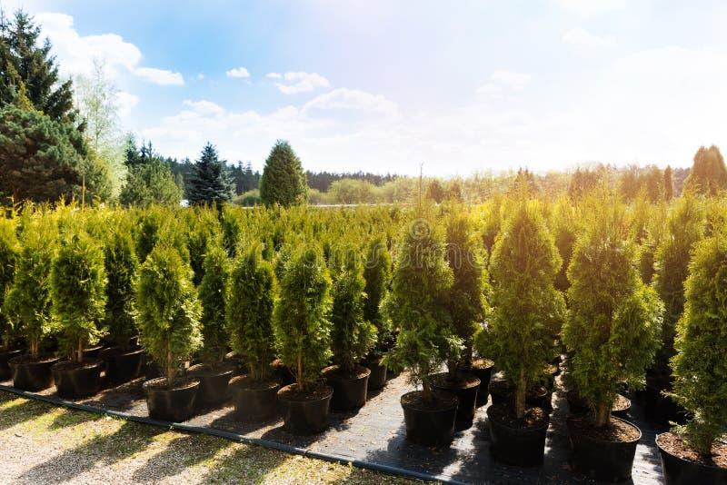 Thujaträd på växtbarnkammaren royaltyfri fotografi