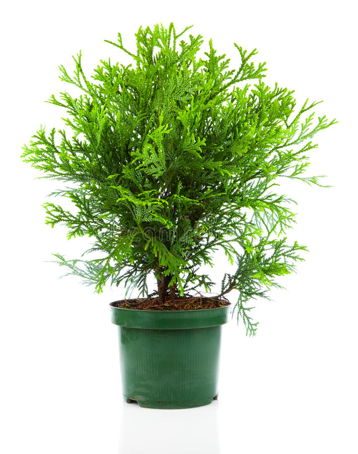Thujopsis. Is a conifer in the cypress family Cupressaceae, isolated on white background stock photo