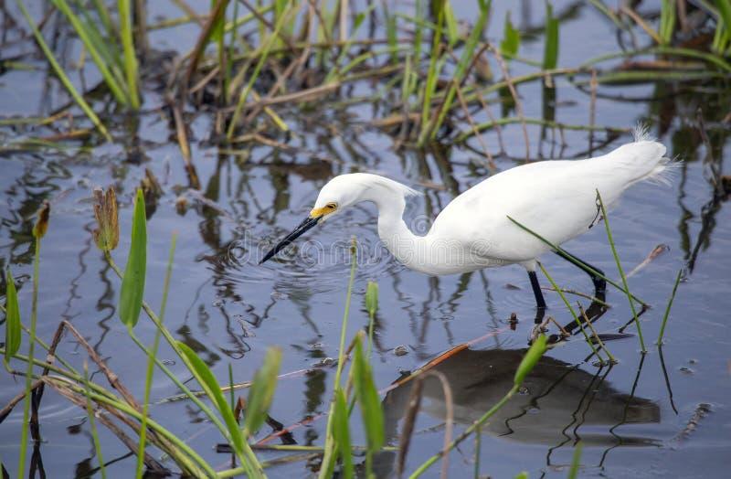 Thula del Egretta del Egret nevado imagenes de archivo