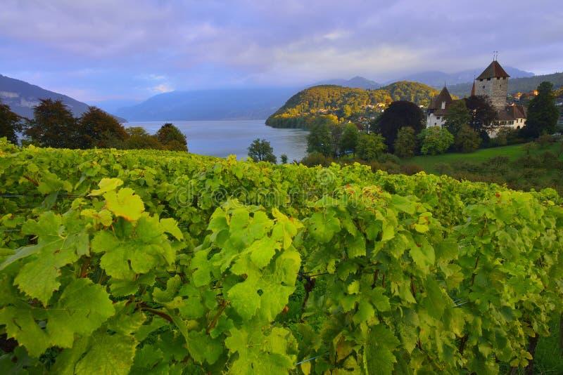 Thun sjö som omges av vingården nära den Spiez slotten royaltyfri fotografi