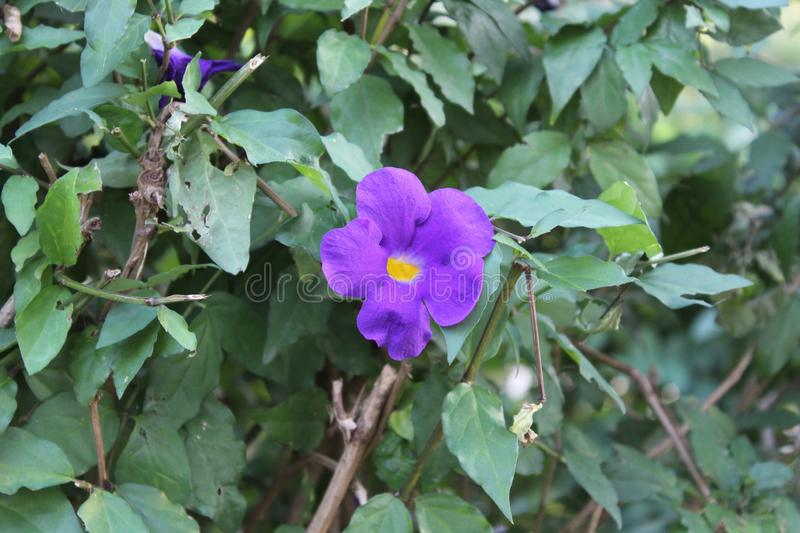 Thunbergia erecta is a herbaceous perennial climbing plant species in the genus. Thunbergia erecta is a herbaceous perennial climbing plant species in the genus stock images