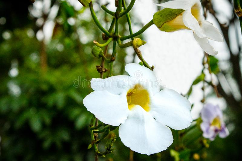 Thunbergia grandiflora fotos de archivo libres de regalías