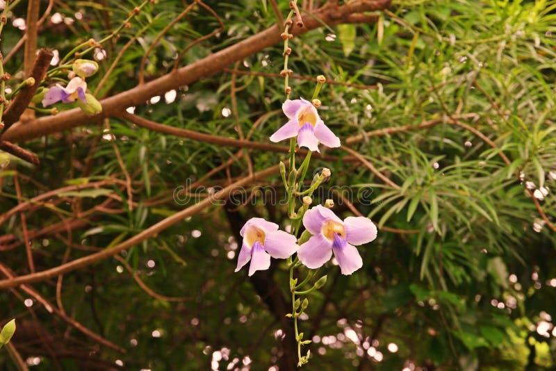 Thunbergia grandiflora, vid imperecedera en el Acanthaceae de la familia fotos de archivo