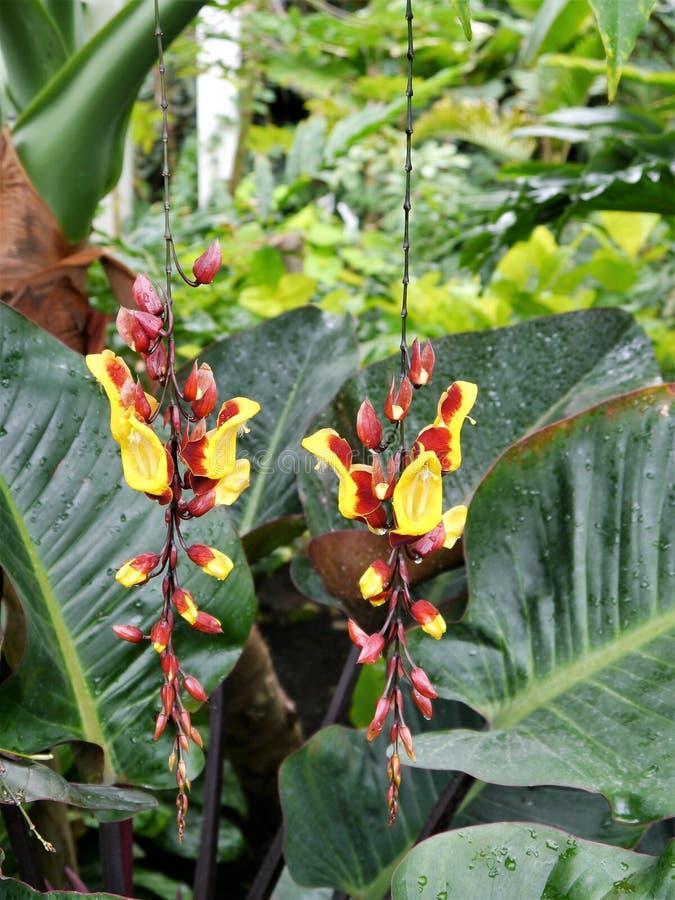 Thunbergia mysorensis, die indische Uhrrebe lizenzfreie stockfotografie