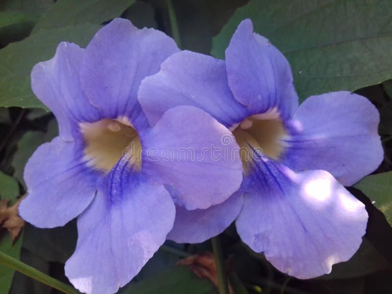 Thunbergia púrpura hermoso grandiflora imagen de archivo libre de regalías