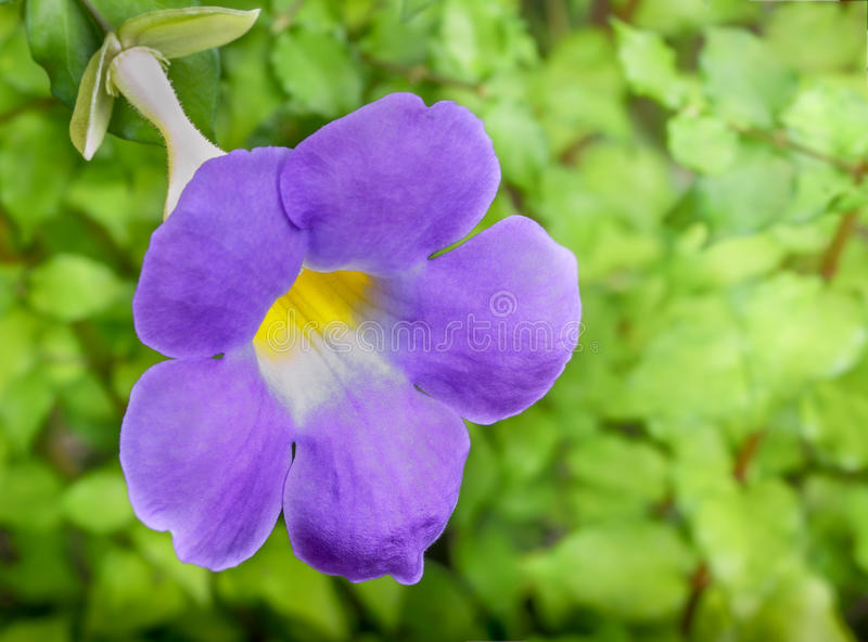 Download Thunbergia/thunbergia Battiscombei Stock Image - Image: 34361097