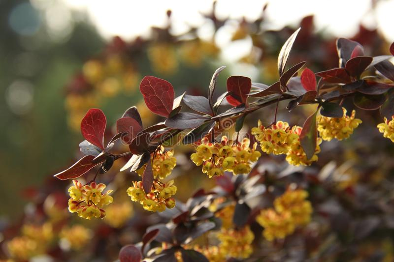 Thunbergii Atropurpurea de Berberis photo stock