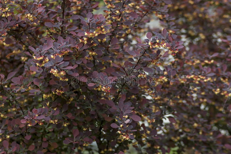 Thunbergii del Berberis o bérbero japonés, bérbero rojo, bérbero del ` s de Thunberg - hojas de la púrpura y flores amarillas fotografía de archivo