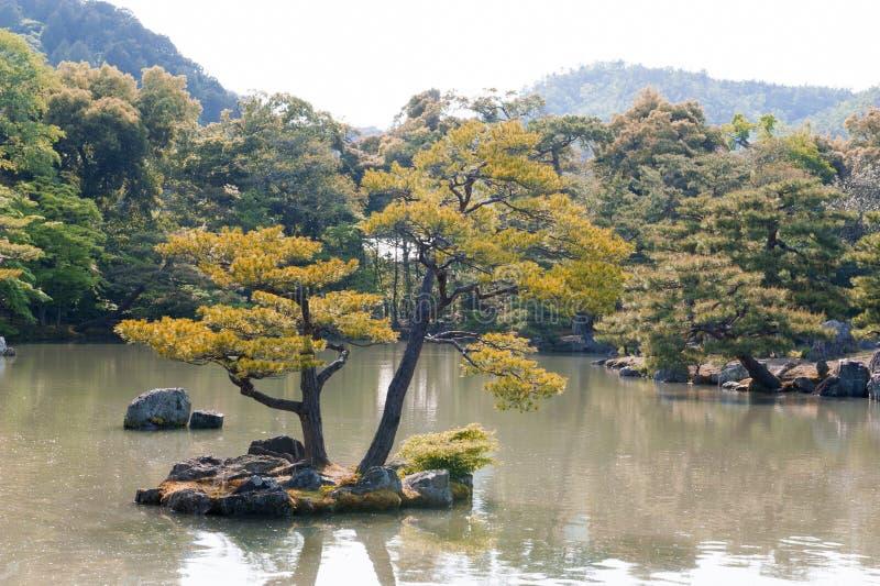 Thunbergii del pinus o pino negro japonés que crece en un islote imagen de archivo