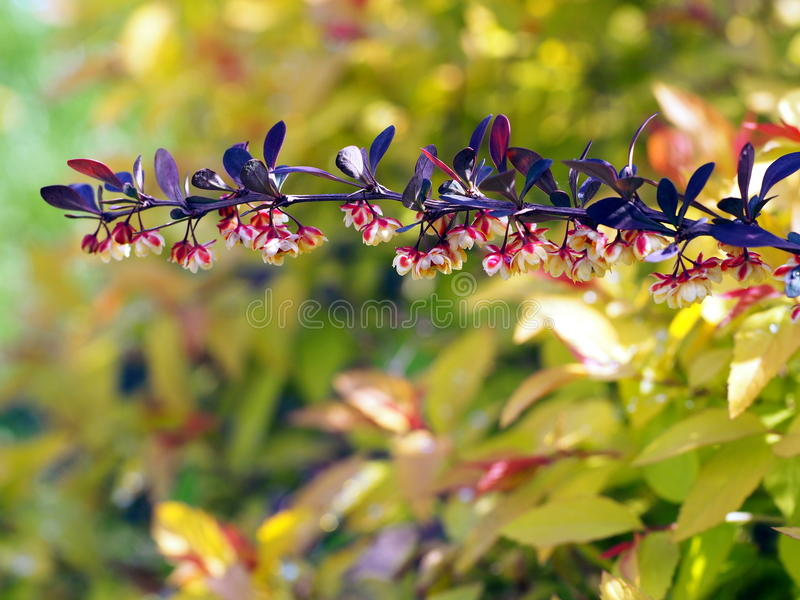 Thunbergii púrpura del Berberis fotos de archivo libres de regalías