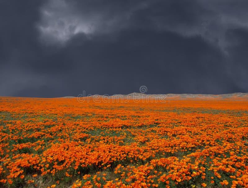 Thunderstorm Poppy Field