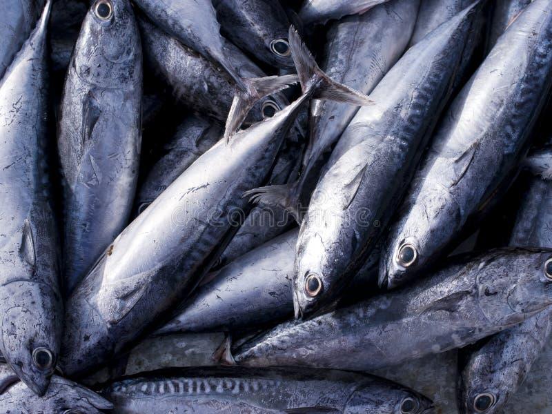 Thunfisch, östlicher kleiner Thunfisch stockbilder