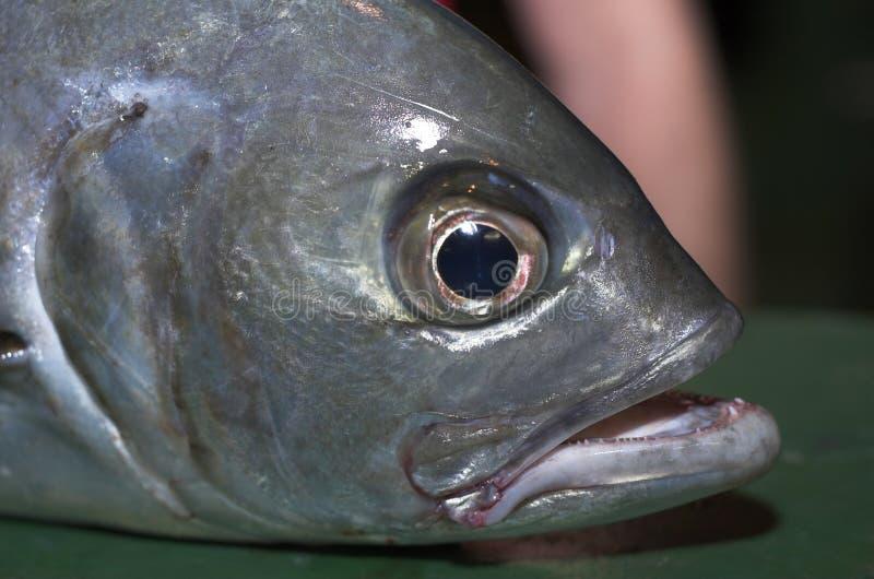 Thunfisch lizenzfreie stockfotos