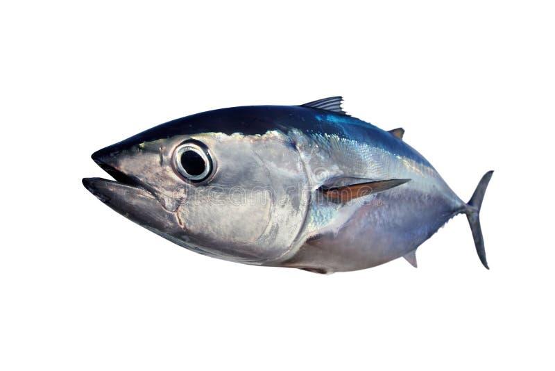 Thunfisch getrennt auf weißem Hintergrund stockbild