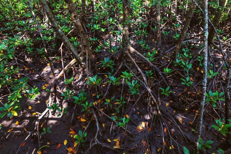 Thung Kha海湾美洲红树森林, Chumphon,泰国特写镜头  免版税库存图片