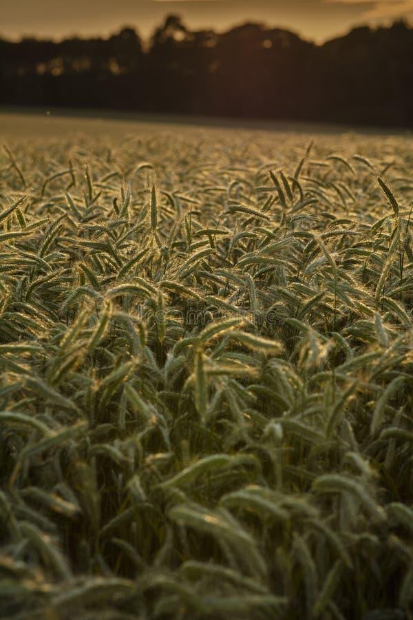 Thurgaton, Nottinghamshire, R-U, juillet 2019, champ de blé près de Thurgaton photo stock