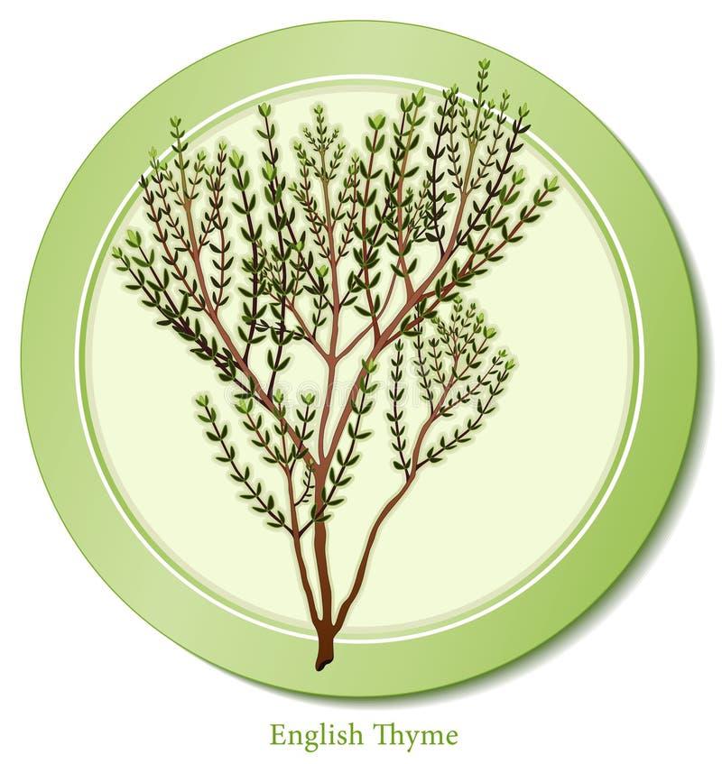 thym anglais d'herbe illustration libre de droits