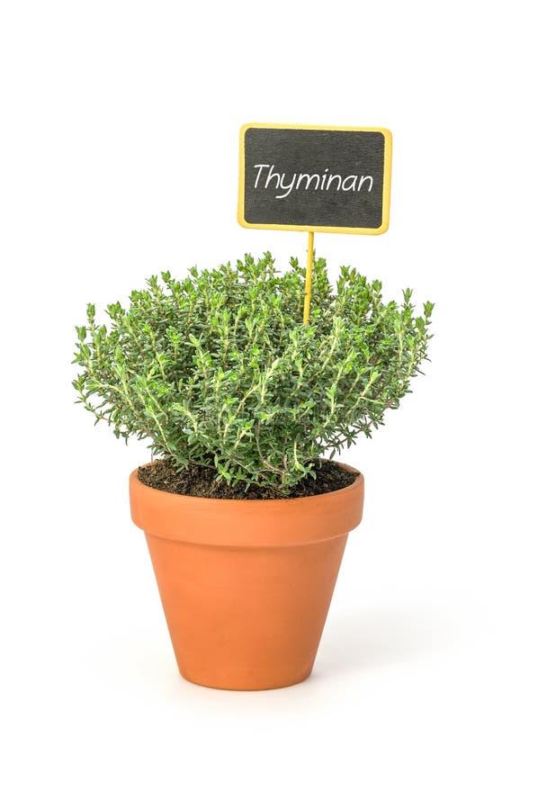 Thym dans un pot d'argile avec un label allemand Thymian photo stock