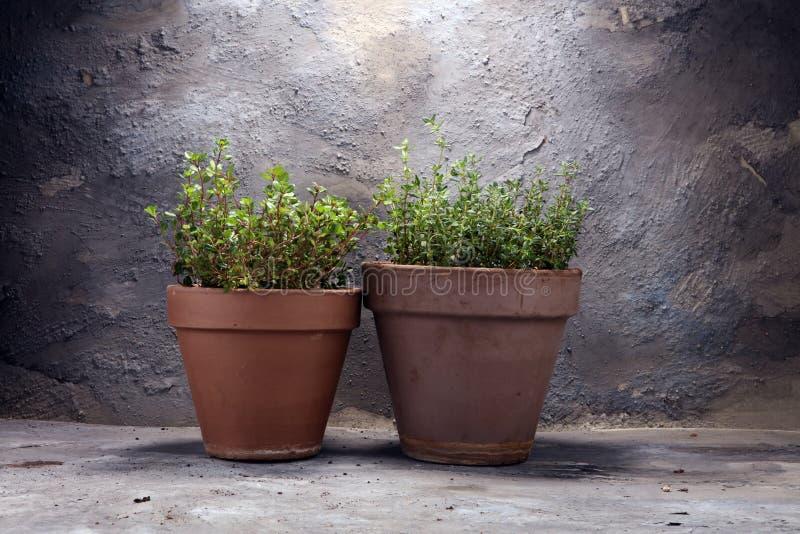 Thym du cru et aromatique d'herbe dans le vieux pot d'argile photographie stock