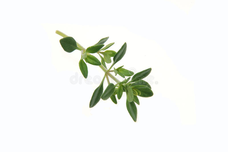 Thyme royalty free stock photography